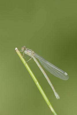 Gemeine Weidenjungfer (Lestes viridis, Chalcolestes viridis) / ch138241