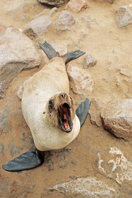 Südafrikanischer Seebär (Arctocephalus pusillus pusillus) / chs05138