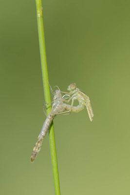 Gemeine Weidenjungfer (Lestes viridis, Chalcolestes viridis) / ch138177