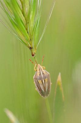 Spitzling (Aelia acuminata) / ch109065