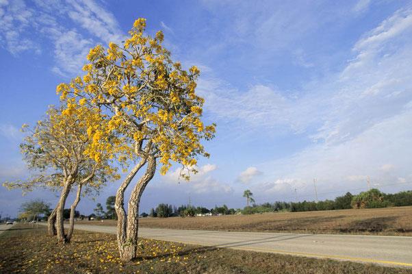 Ipe-Baum (Tabebuia chrysantha) / chs05026
