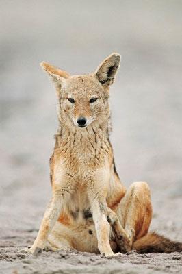 Schabrackenschakal (Canis mesomelas) / chs05219