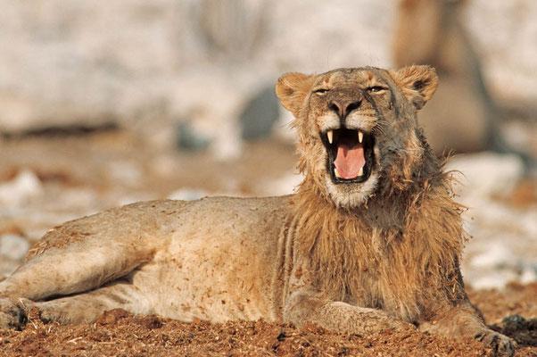 Löwe (Panthera leo) / chs05221