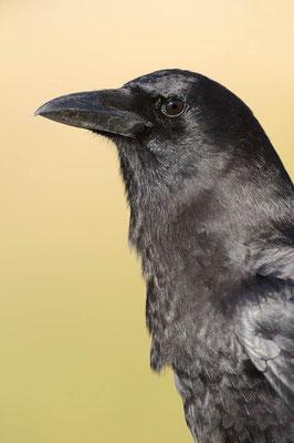Amerikanerkrähe (Corvus brachyrhynchos) / ch064912