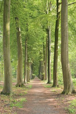 Allee aus Rotbuchen, Belgien / ch189032