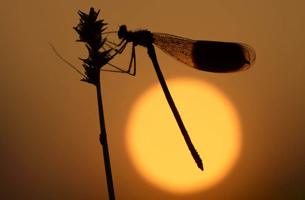 Gebänderte Prachtlibelle (Calopteryx splendens) / ch138266
