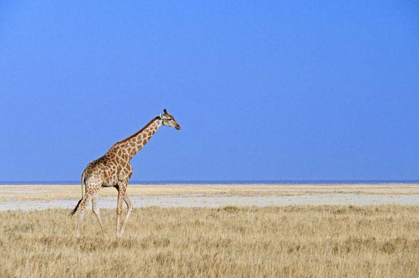 Angola-Giraffe (Giraffa camelopardalis angolensis) / chs05242