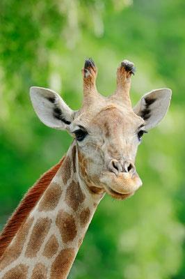 Angola-Giraffe (Giraffa camelopardalis angolensis) / ch070418