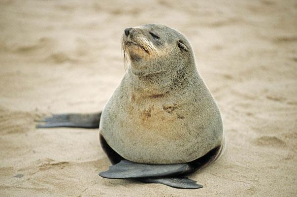 Südafrikanischer Seebär (Arctocephalus pusillus pusillus) / chs05192
