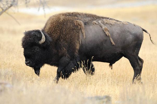 Amerikanischer Bison (Bos bison, Bison bison) / ch057581