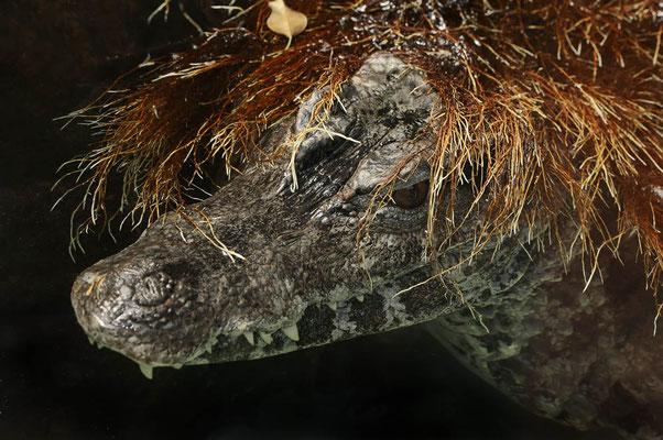 Keilkopf-Glattstirnkaiman (Paleosuchus trigonatus) / ch087936