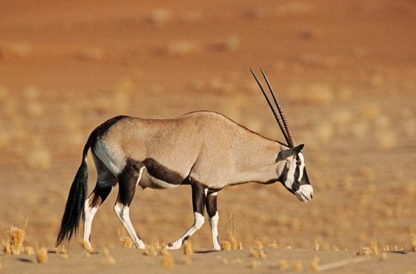 Spießbock (Oryx gazella) / chs05131