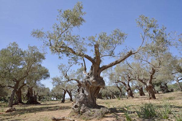 Olivenbaum (Olea europaea), Mallorca, Spanien / ch154930