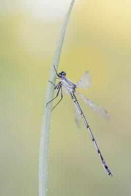 Gemeine Weidenjungfer (Lestes viridis, Chalcolestes viridis) / ch168513