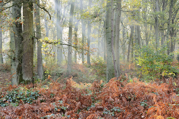 Laubwald im Herbst, Nordrhein-Westfalen / ch196890