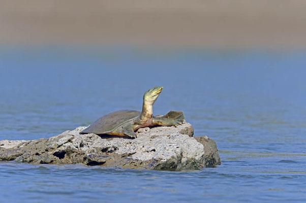 Ganges-Weichschildkröte (Nilssonia gangetica,, Aspideretes gangeticus, Trionyx gangeticus) / ch082943