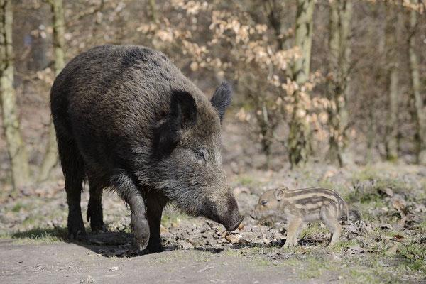 Europäisches Wildschwein (Sus scrofa scrofa) / ch142188
