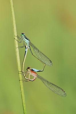 Große Pechlibelle (Ischnura elegans) / ch077746