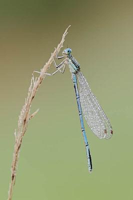 Blaue Federlibelle (Platycnemis pennipes) / ch096989