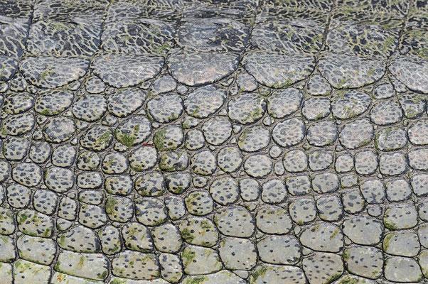 Gangesgavial oder Echter Gavial (Gavialis gangeticus) / ch070152