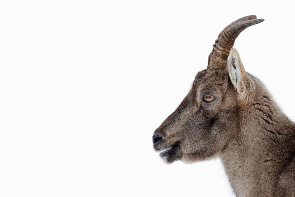 Alpensteinbock (Capra ibex) / ch104456a