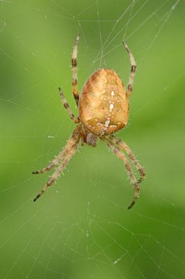 Gartenkreuzspinne (Araneus diadematus) / ch098239