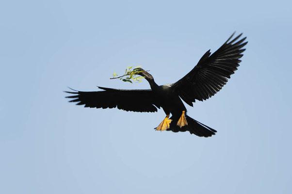 Amerikanischer Schlangenhalsvogel  (Anhinga anhinga) / ch023266