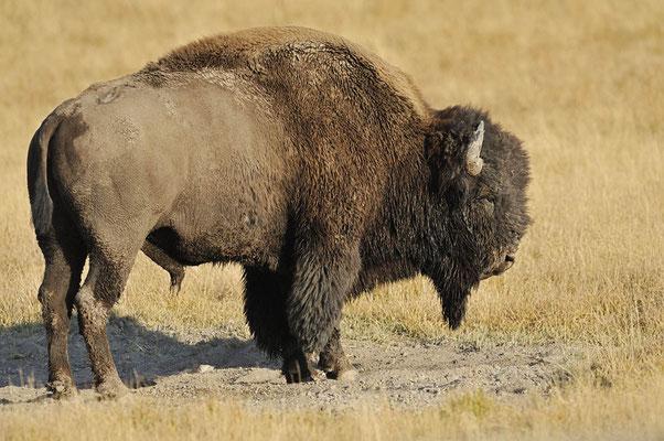 Amerikanischer Bison (Bos bison, Bison bison) / ch057486