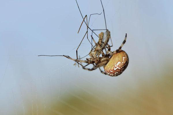 Vierfleck-Kreuzspinne, Weibchen im Netz mit Beute (Araneus quadratus) / ch168980