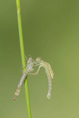 Gemeine Weidenjungfer (Lestes viridis, Chalcolestes viridis) / ch138196