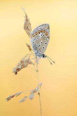 Hauhechel-Bläuling (Polyommatus icarus) / ch181696
