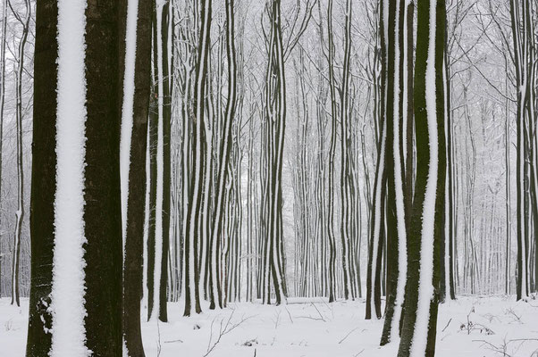 Rotbuchen (Fagus sylvatica) im Winter, Nordrhein-Westfalen / ch103910