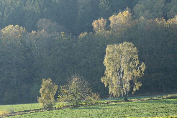 Birken im Herbst, Sächsische Schweiz, Sachsen / ch193491