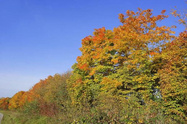 Laubbäume im Herbst, Nordrhein-Westfalen / ch101253