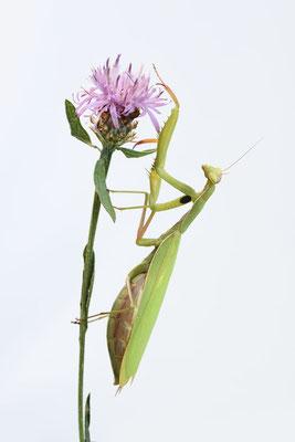 Europäische Gottesanbeterin (Mantis religiosa) / ch192077
