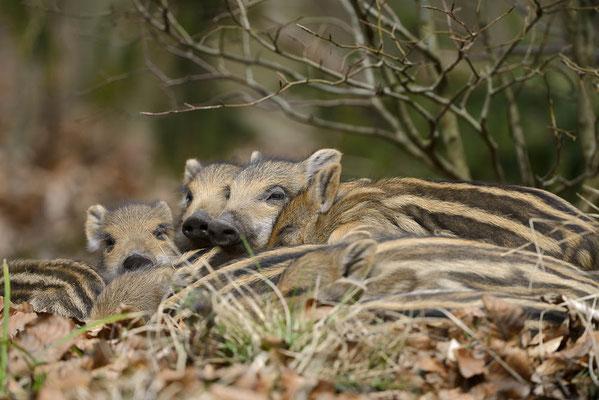 Europäisches Wildschwein (Sus scrofa scrofa) / ch141720