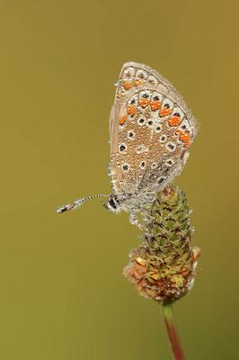 Hauhechel-Bläuling (Polyommatus icarus) / ch109388