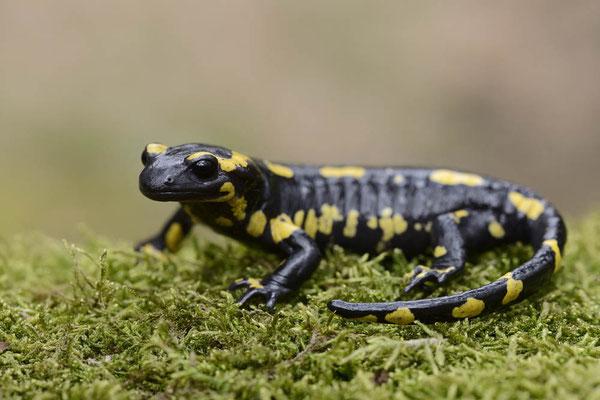 Feuersalamander (Salamandra salamandra)  / ch136394