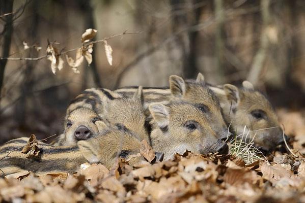 Europäisches Wildschwein (Sus scrofa scrofa) / ch141961