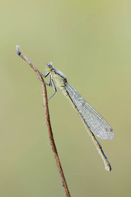 Große Pechlibelle (Ischnura elegans) / ch151736