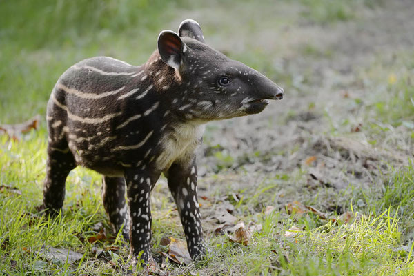 Flachlandtapir (Tapirus terrestris) / ch132966