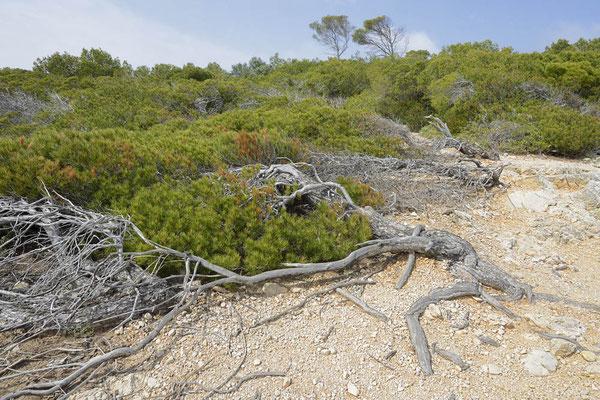 Aleppo-Kiefer (Pinus halepensis), Windflüchter, Mallorca, Spanien / ch154957