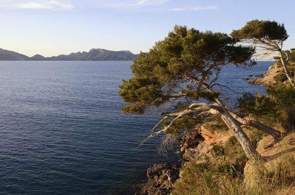 Aleppo-Kiefern (Pinus halepensis) an der Küste, Mallorca, Spanien / ch155128