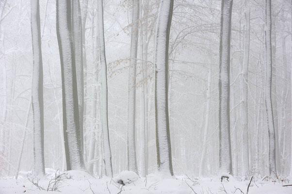Rotbuchen (Fagus sylvatica) im Winter, Nordrhein-Westfalen / ch103814