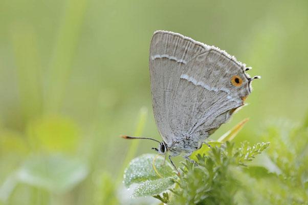 Blauer Eichen-Zipfelfalter (Favonius quercus) / ch174667