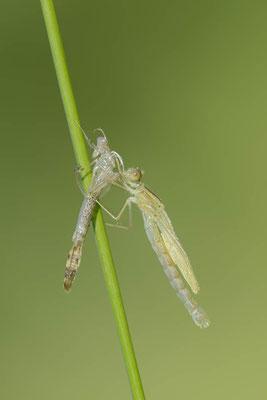 Gemeine Weidenjungfer (Lestes viridis, Chalcolestes viridis) / ch138213