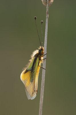 Libellen-Schmetterlingshaft (Libelloides coccajus) / ch091157