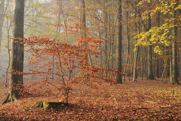 Rotbuche (Fagus sylvatica) im Herbst, Nordrhein-Westfalen / ch196907