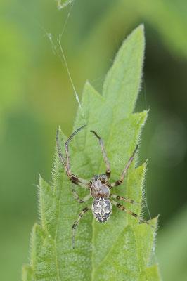 Schilfradspinne (Larinioides cornutus) / ch177621