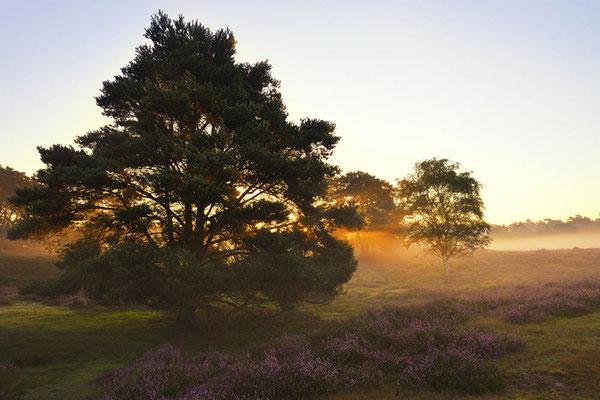 Gemeine Kiefer (Pinus sylvestris) in Heidelandschaft bei Sonnenaufgang / ch174259